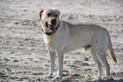 Hund am Strand, Dänemark, Labrador