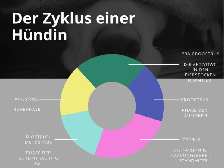 eitrige Gebärmutterentzündung (Pyometra) der Hündin, vet-dogs.de