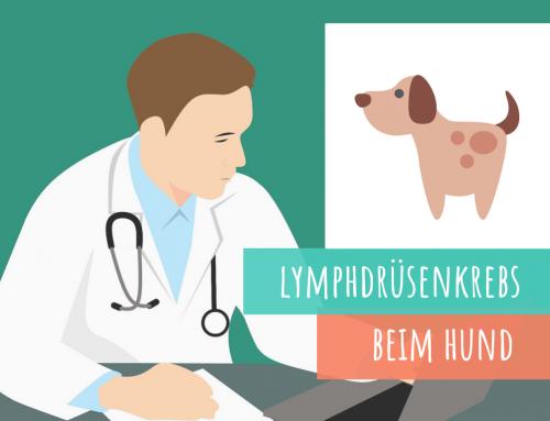 Lymphdrüsenkrebs (Lymphom) beim Hund
