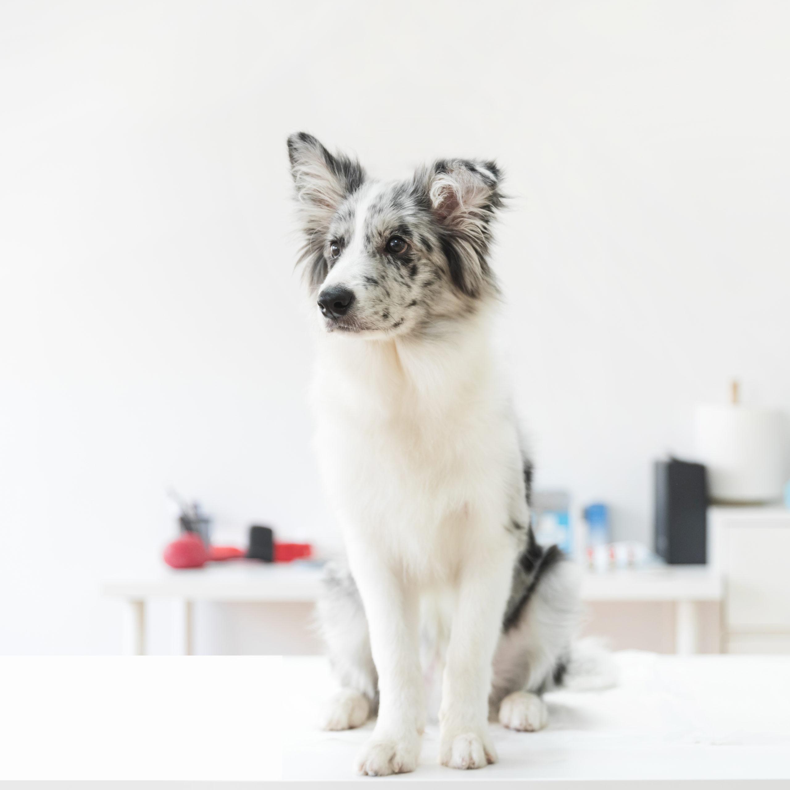 Tierarzt-Webinar-Pankreatitis-Hund