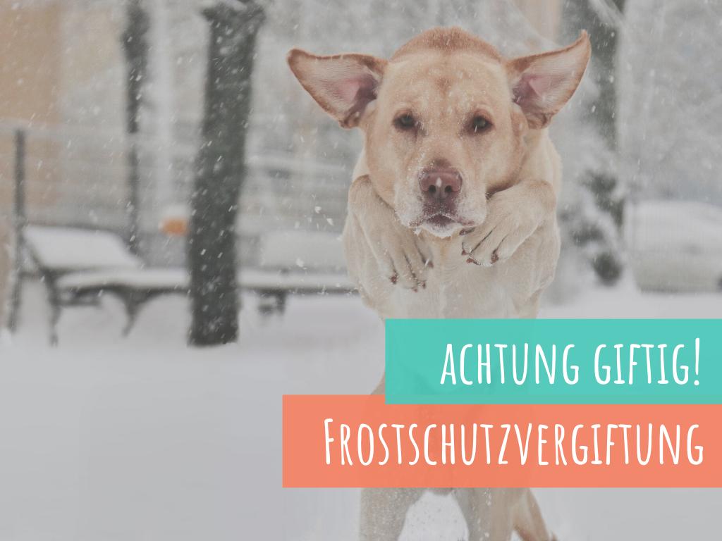 die-Frostschutzvergiftung-des-hundes