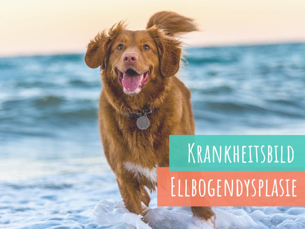 ellbogendysplasie-ed-beim-hund